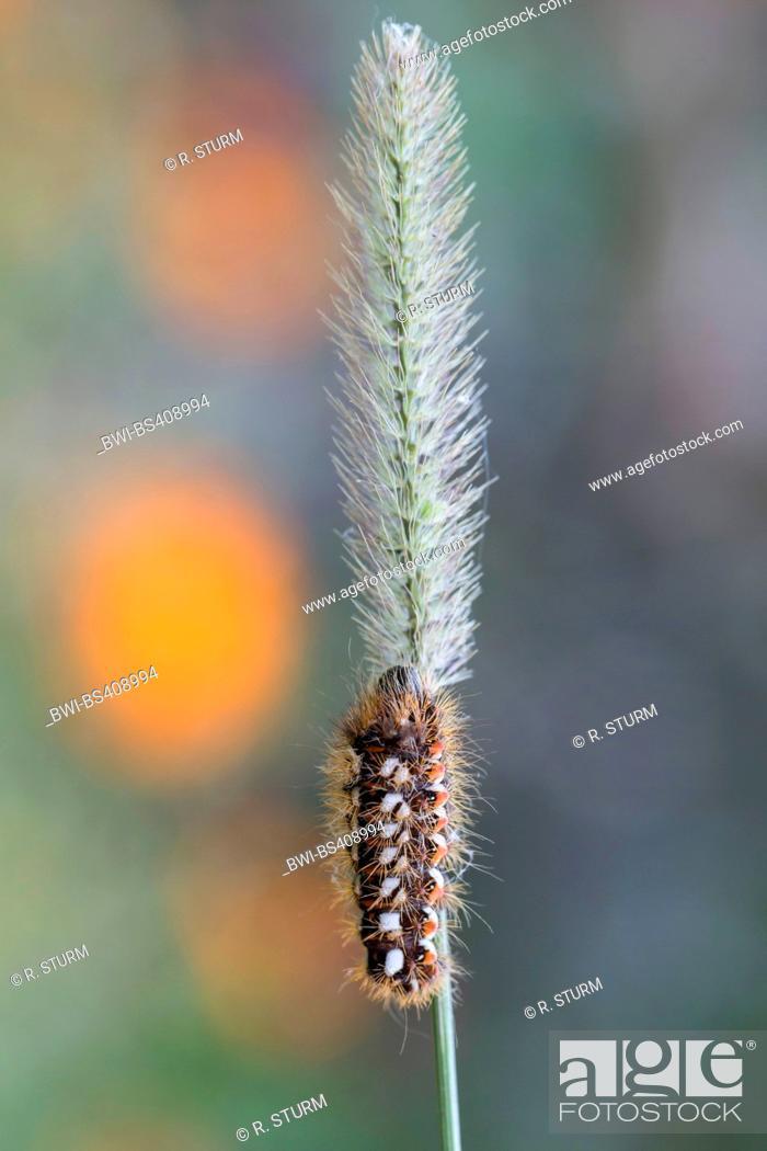 Stock Photo: knot grass moth (Acronicta rumicis, Viminia rumicis, Acronycta salicis), caterpillar on a blade of grass, Germany, Bavaria.