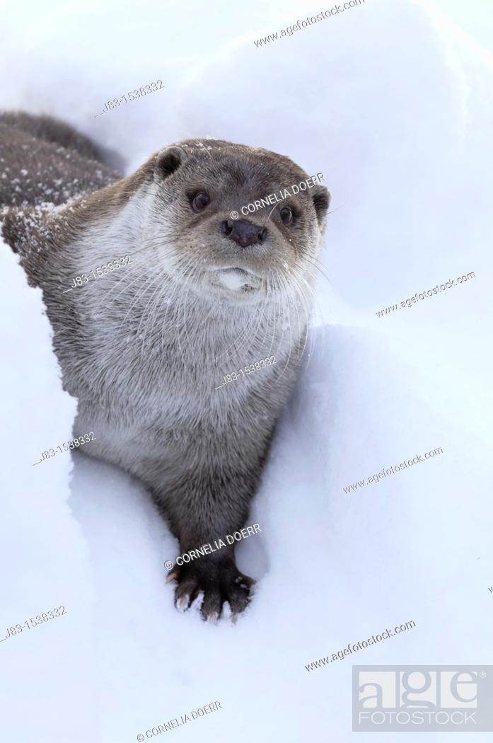 Stock Photo: European Otter Lutra lutra in snow, Bavaria, Germany.