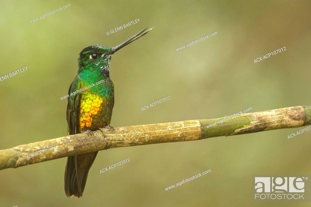 Imagen: Golden-bellied Starfrontlet (Coeligena bonapartei) perched on a branch in the mountains of Colombia, South America.