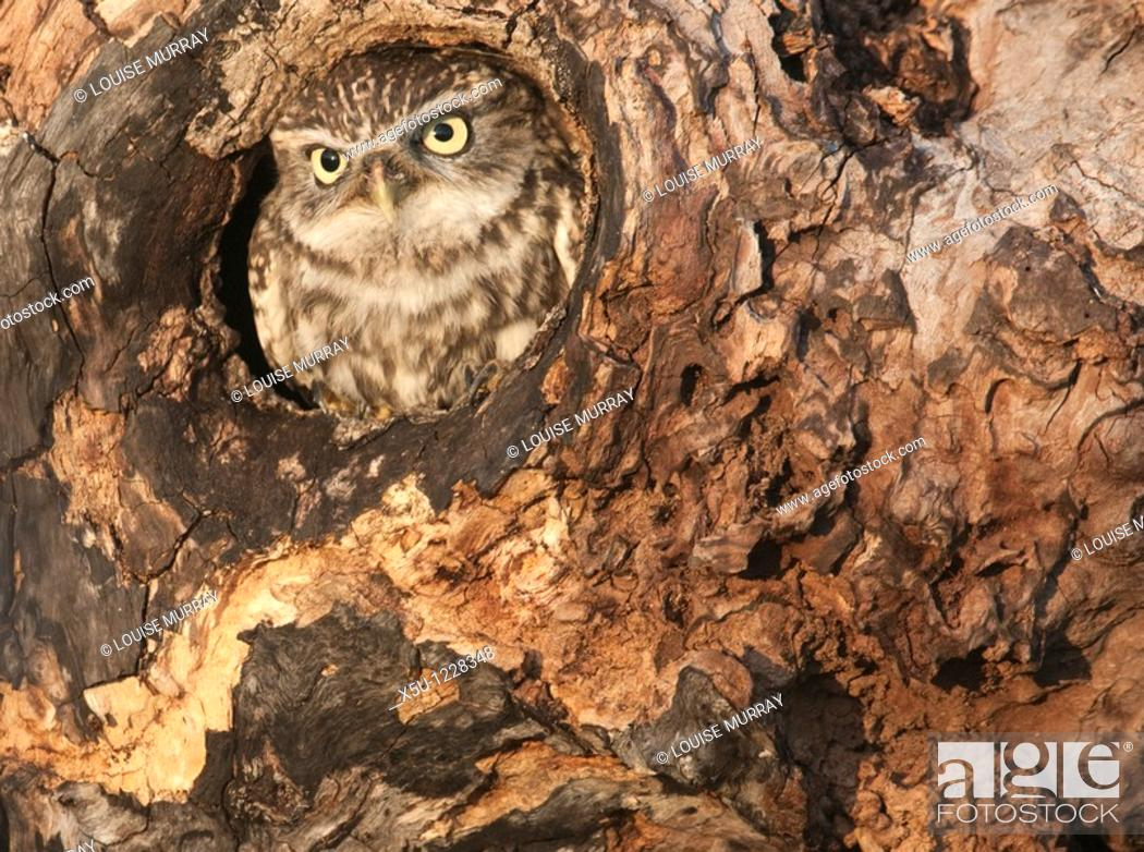 Stock Photo: Little owl Athene noctua in hole in hollow tree The little owl is a diminutive species, which possesses a plump, round body.