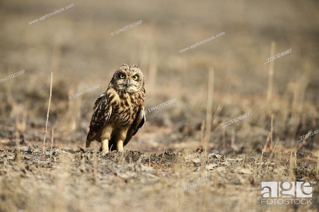 Stock Photo: Short eared owl, Asio flammeus Uran, Mumbai, Maharashtra, India.