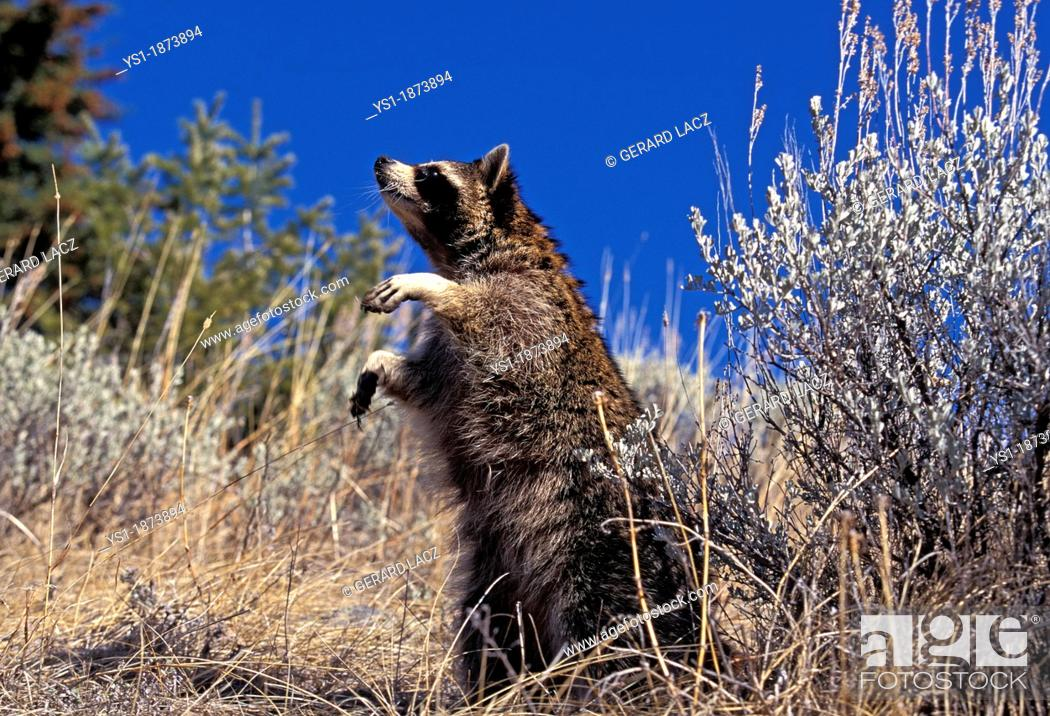 Raccoon Procyon Lotor Adult Standing On Hind Legs Stock Photo
