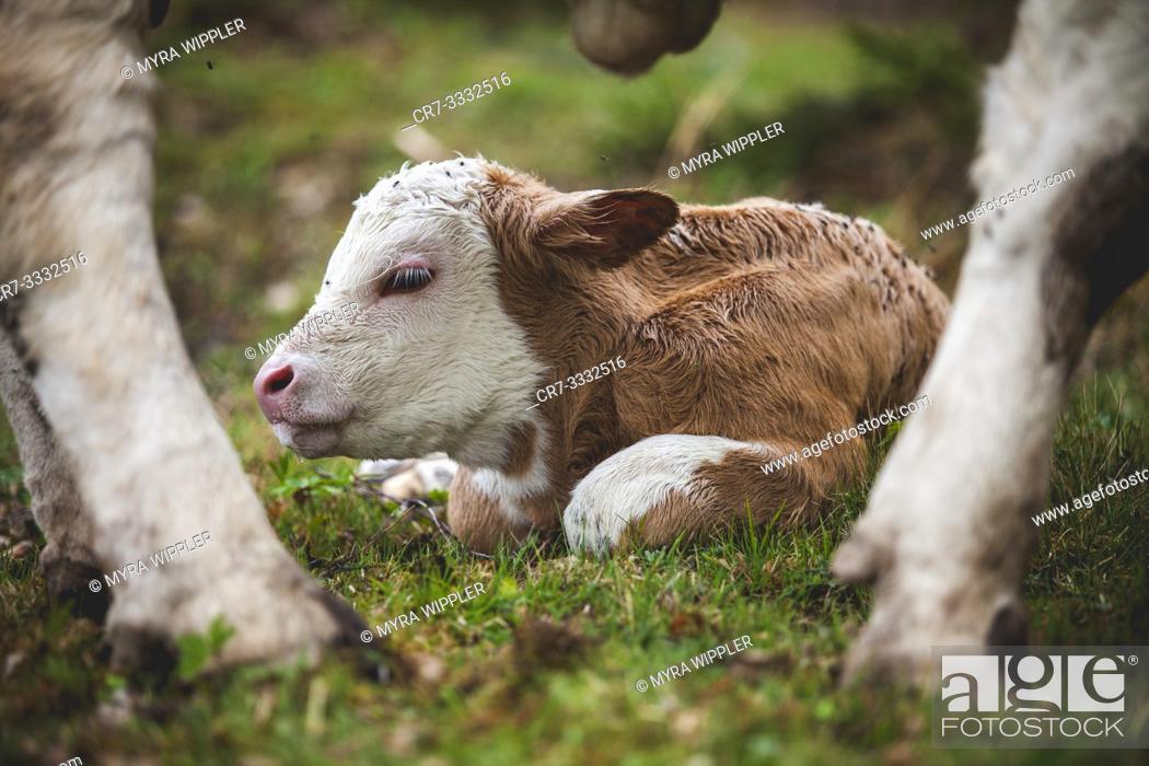 Stock Photo: Newborn calf between mothers legs.