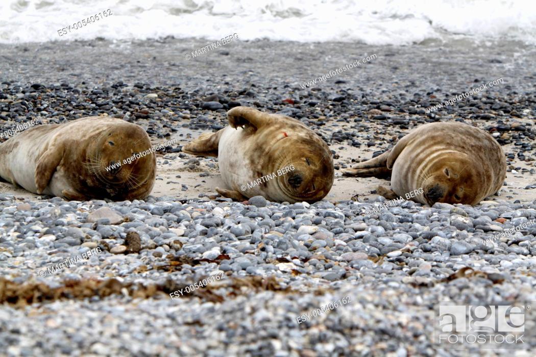Stock Photo: Kegelrobbe am Strand der Helgoländer Düne.