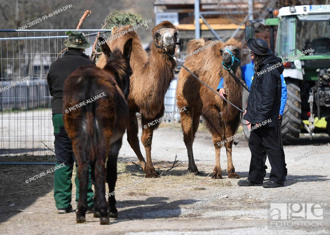 Stock Photo: 24 March 2020, Bavaria, Oberammergau: The Catalan giant donkey Sancho (l-r), farmer Toni Scholler, the camels Nalani and Mirell and the owner Elke Kerler pick.