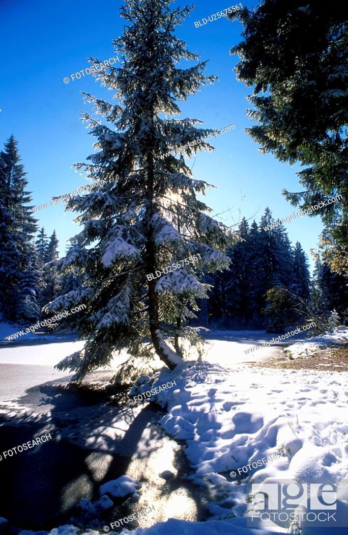 Stock Photo: dornbirn, autumn, cold, calf, back light, fir, austria.