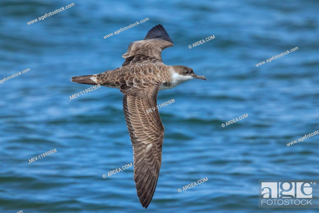 Imagen: Great Shearwaters - Ardenna gravis - foraging for bunker or Menahden fish along Race Point - Cape Cod National Seashore - MA in AugUSt - A common seabird off.