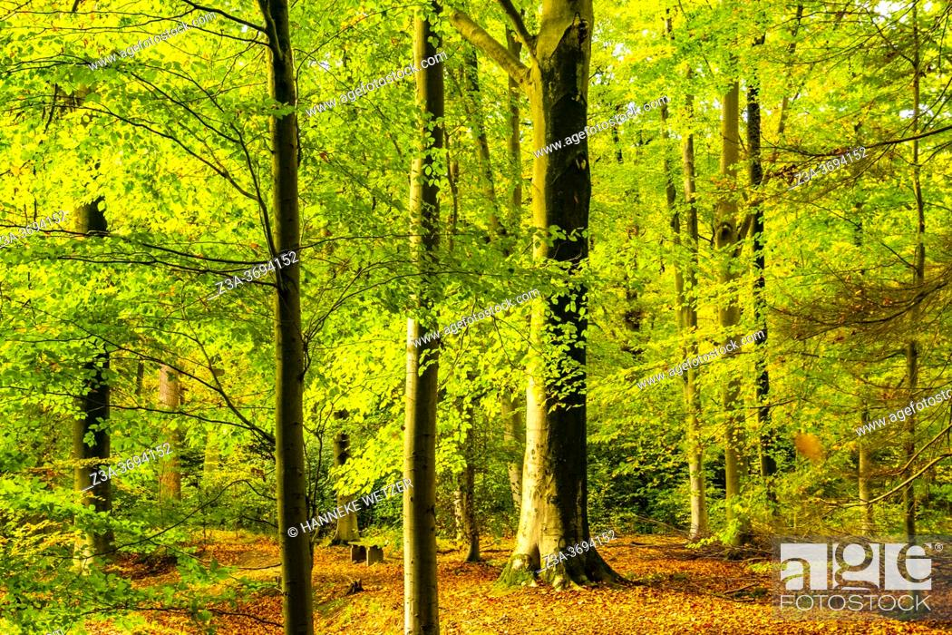 Photo de stock: Colorful autumn forest in the Netherlands, Europe.