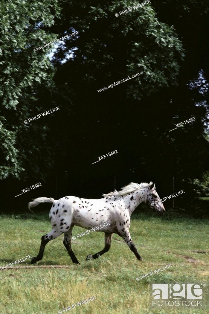 Stock Photo: Appaloosa horse. USA.