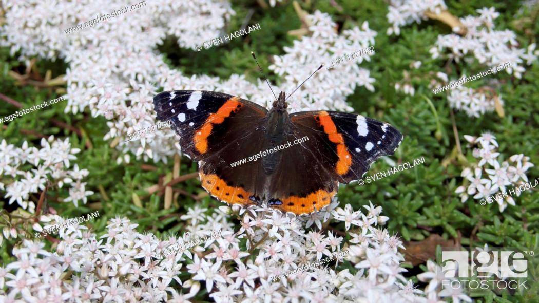 Stock Photo: Red Admiral butterfly Vanessa Atalanta, sits on apple blossom flowers in Springtime.