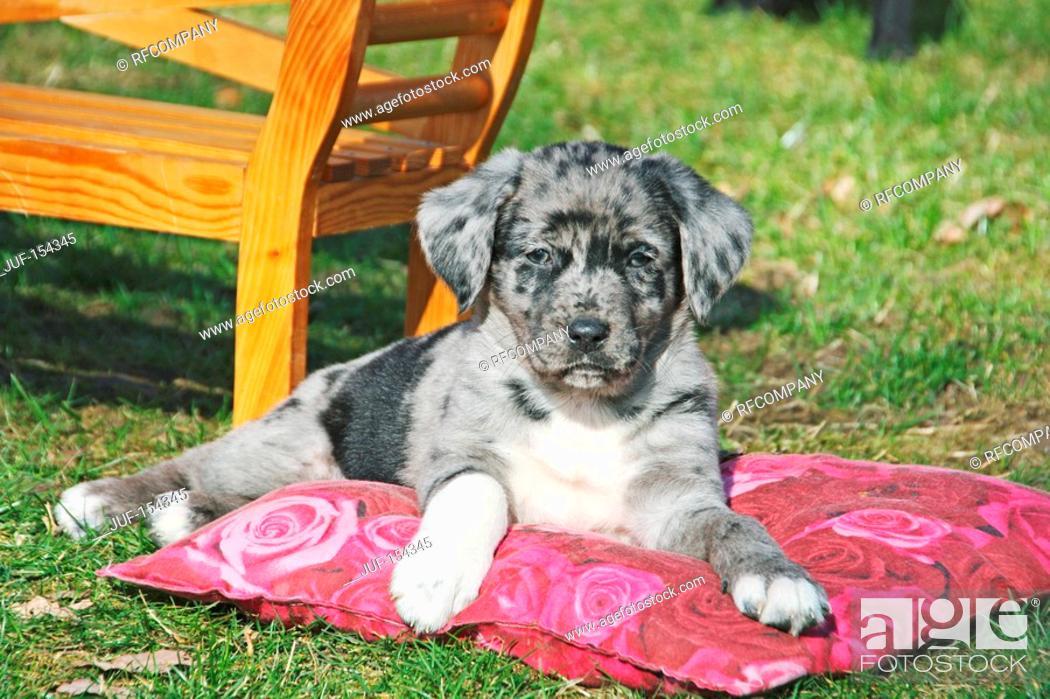 Imagen: half breed dog Australian Shepherd - puppy lying on meadow.