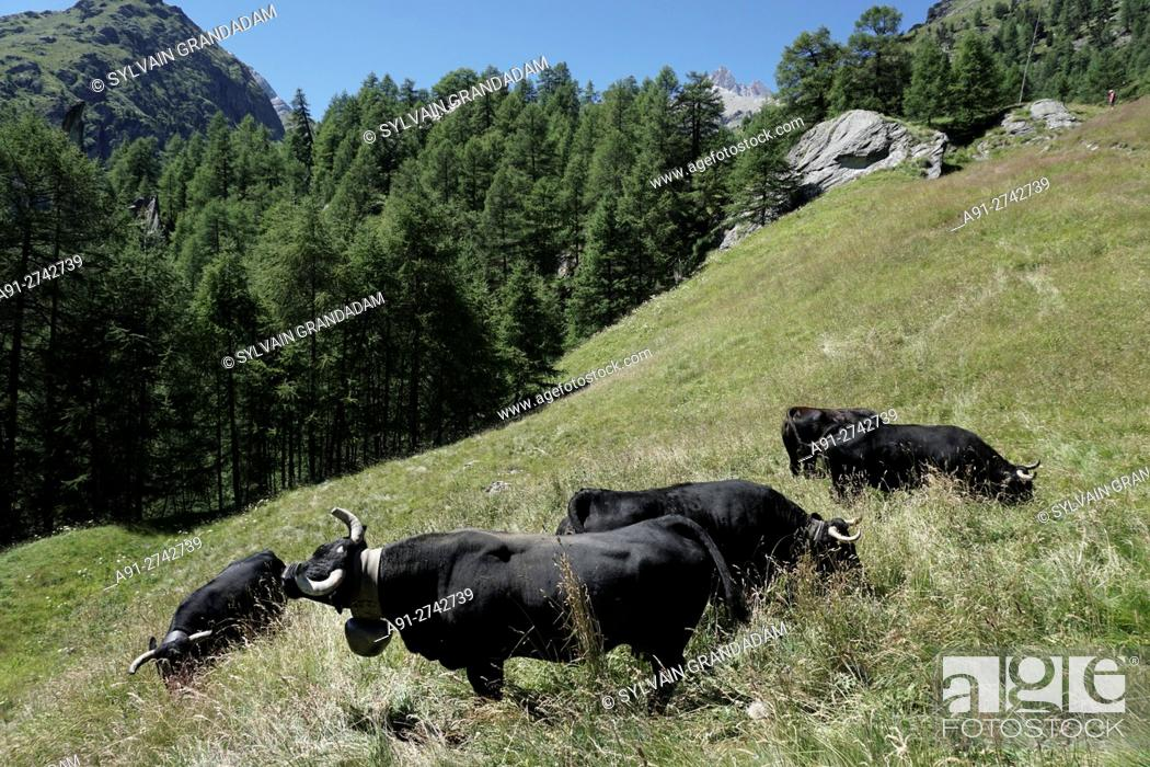"Stock Photo: Switzerland, Valais, Val d'Herens, village of Evolene in summer, black cows """"herens"""" by the La Gouille hamlet."