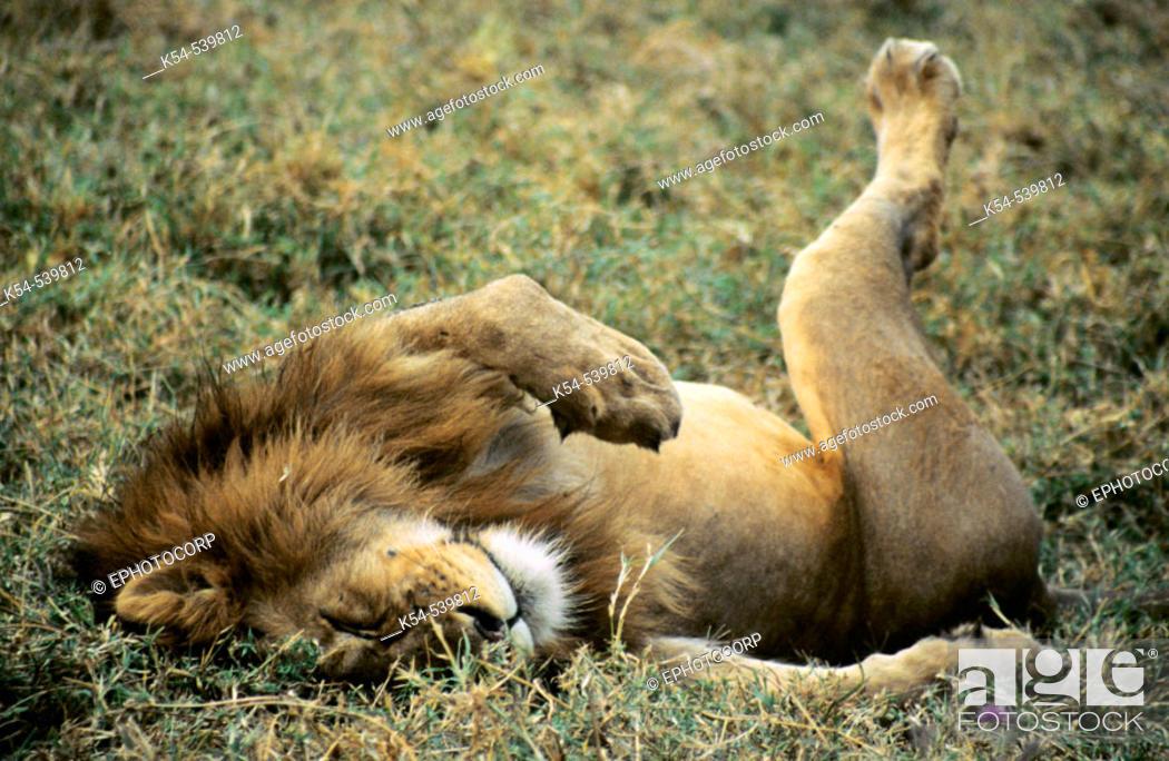 Stock Photo: African Lion, Ngorongoro Conservation Area.