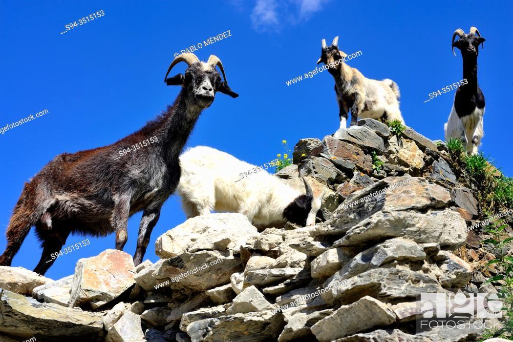 Imagen: Goats over a wall in Murshkeli, Mestia, Svaneti, Georgia.