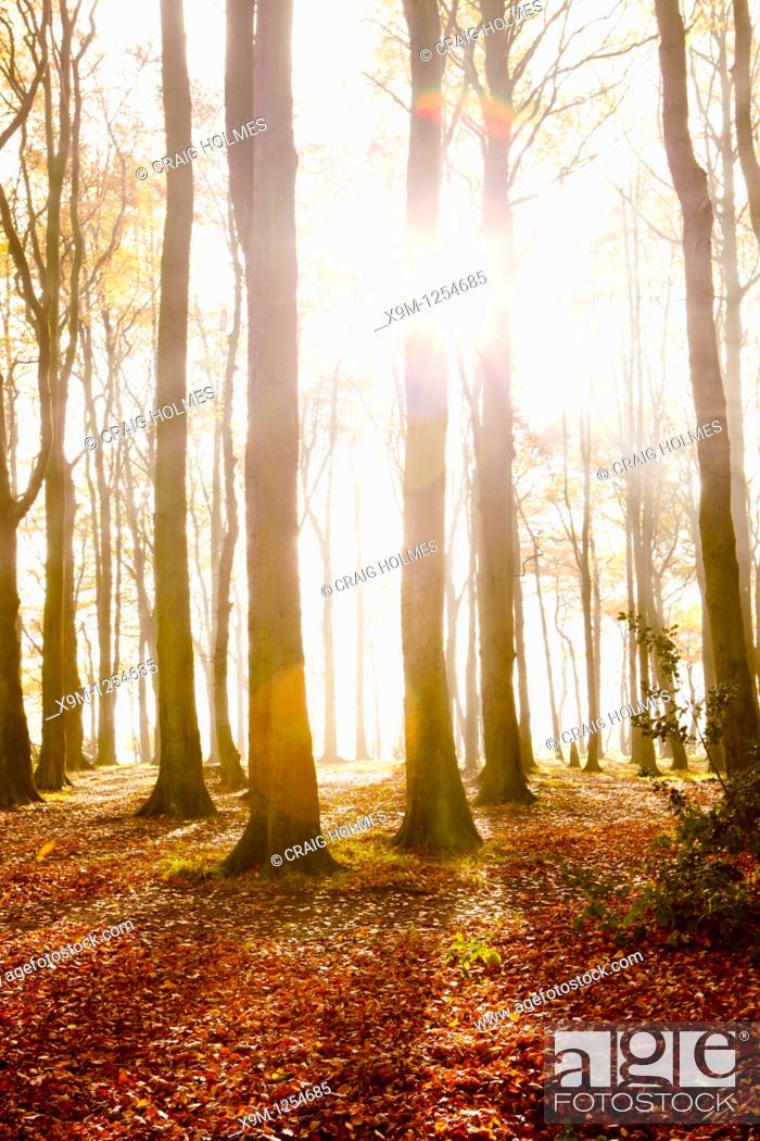 Stock Photo: Beech trees in a wooded area, sunlight coming through trees in Autumn.