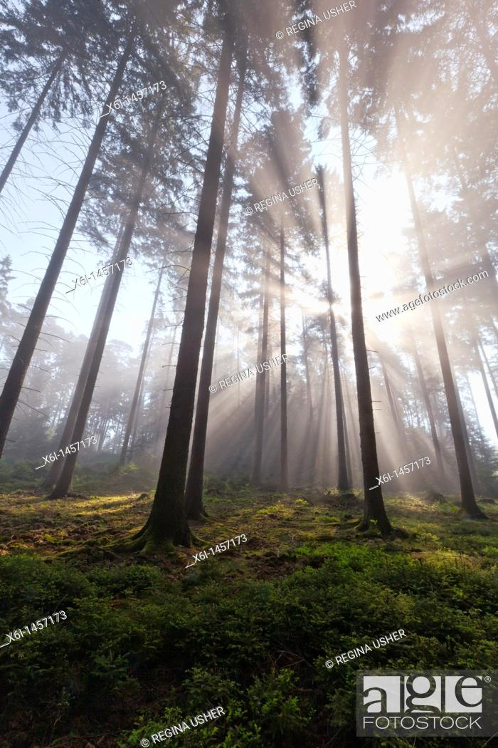 Stock Photo: Sunlight filtering through fir trees and early morning mist in spring, Lower Saxony, Germany.