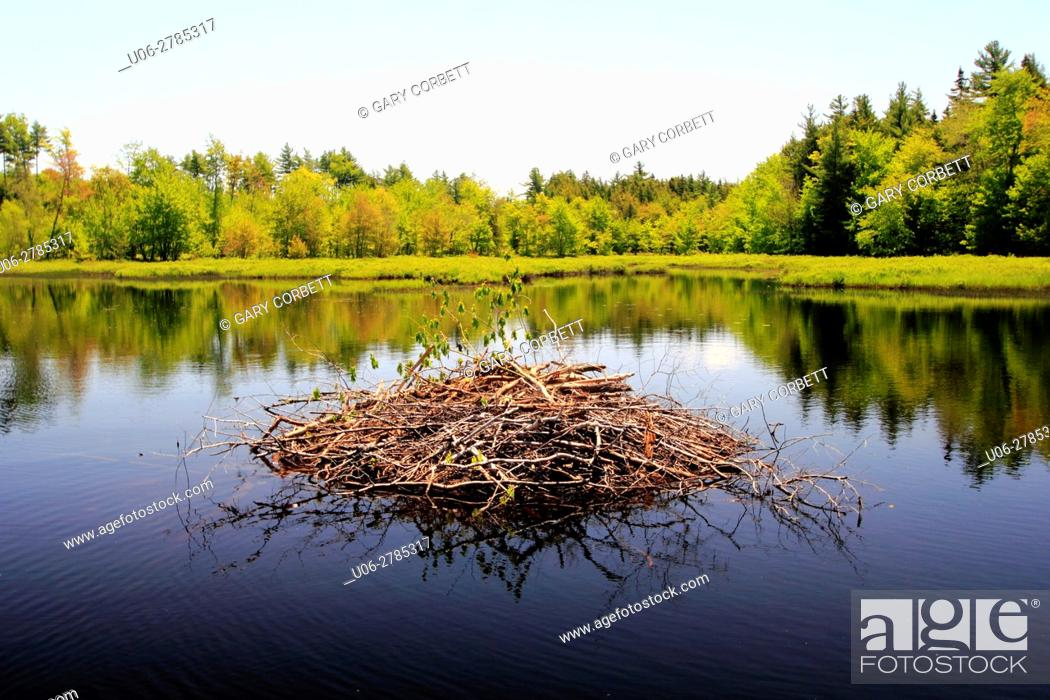 Stock Photo: a beaver house in a lake.