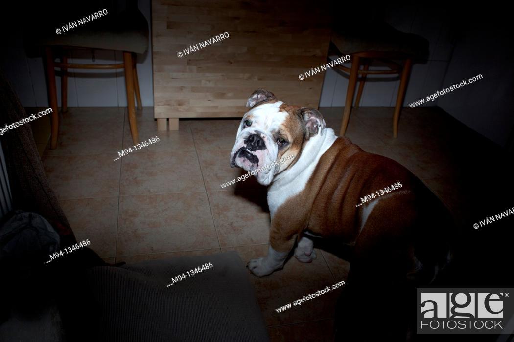 Stock Photo: Dog facing camera.