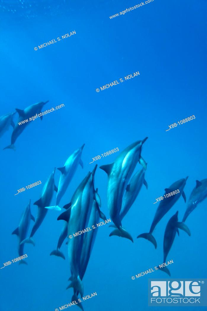 Stock Photo: Hawaiian Spinner Dolphin pod Stenella longirostris underwater in Honolua Bay off the northwest coast of Maui, Hawaii, USA  Pacific Ocean  MORE INFO Spinner.