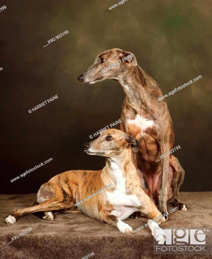 Stock Photo: Greyhounds.