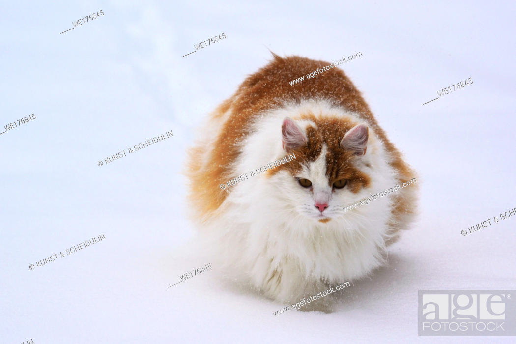 Photo de stock: Portrait of a long haired orange and white cat in the snow.
