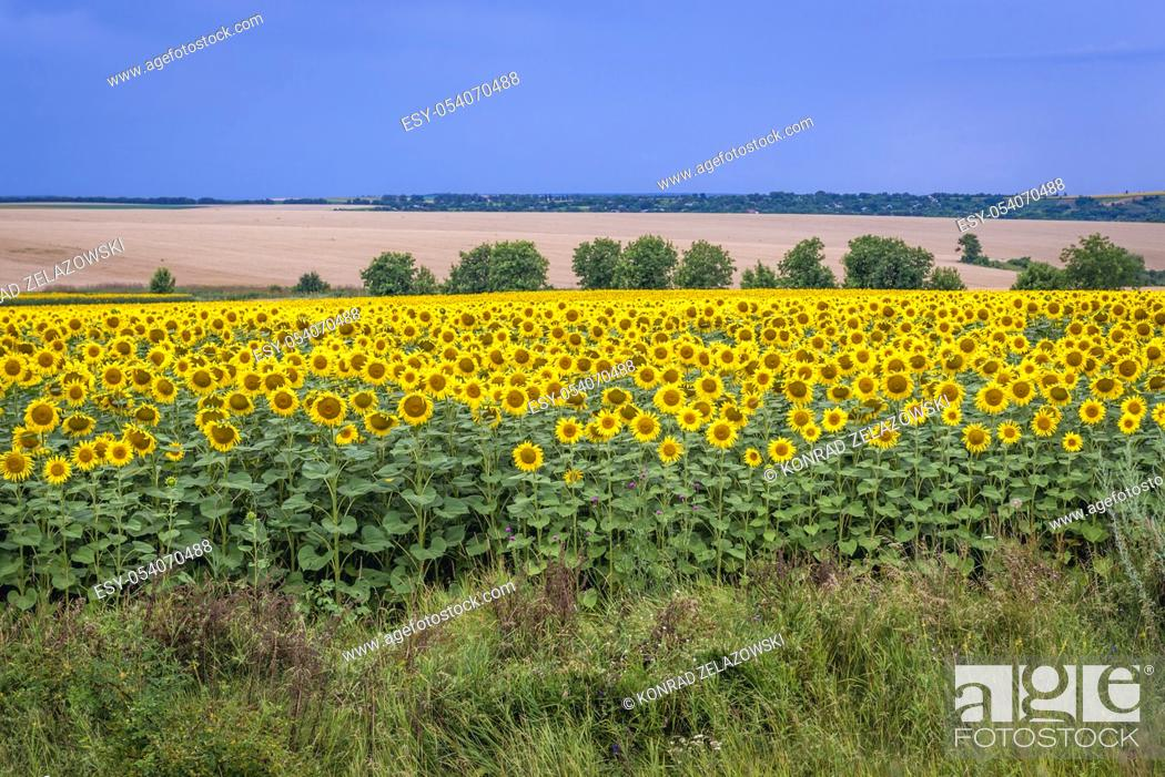 Stock Photo: Large field of sunflowers in Moldova.