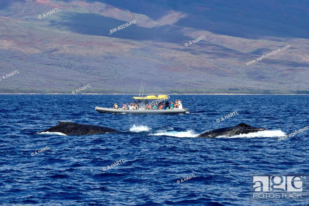 Stock Photo: humpback whale Megaptera novaeangliae, Whale Watching, tourist boat beside twi whales, USA, Hawaii, Maui.