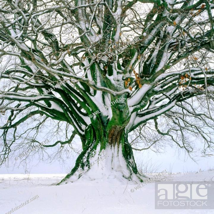 Stock Photo: Beech (Fagus Sylvatica) in winter. Bavaria. Germany.