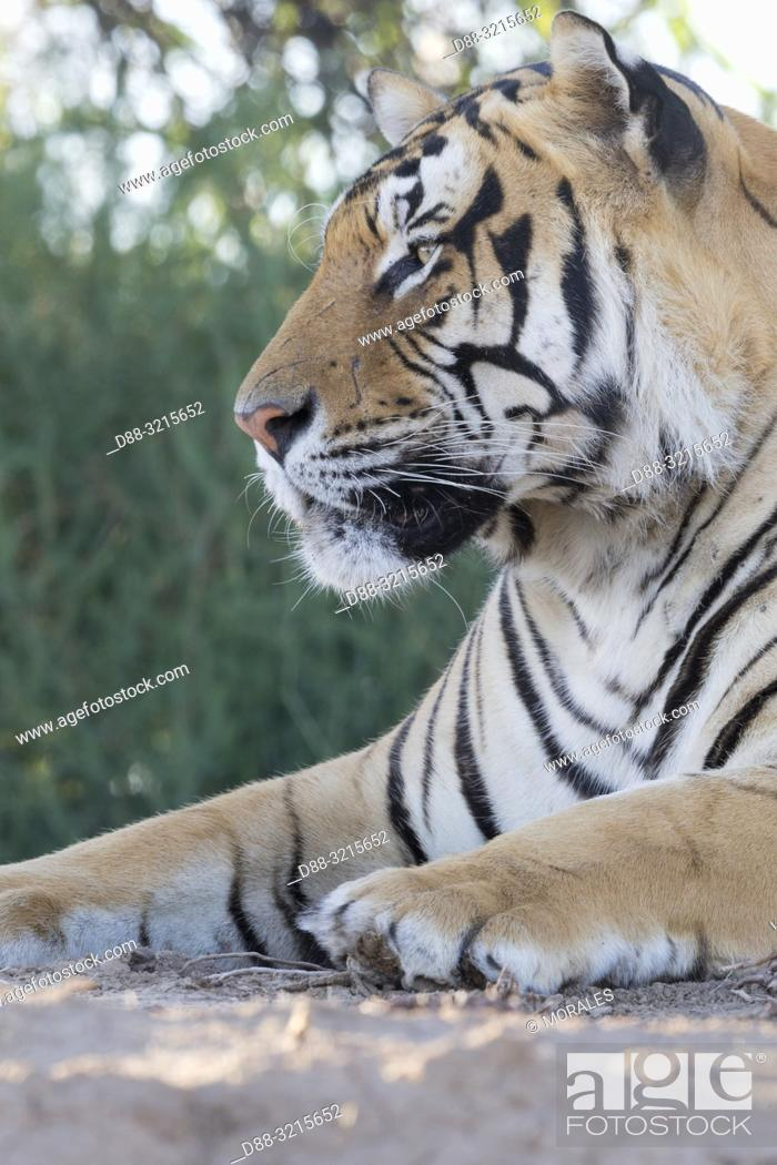 Stock Photo: South Africa, Private reserve, Asian (Bengal) Tiger (Panthera tigris tigris), resting.