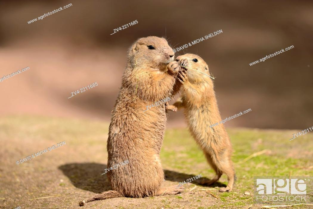 Stock Photo: Close-up of a black-tailed prairie dog (Cynomys ludovicianus) mother with her youngster in spring.