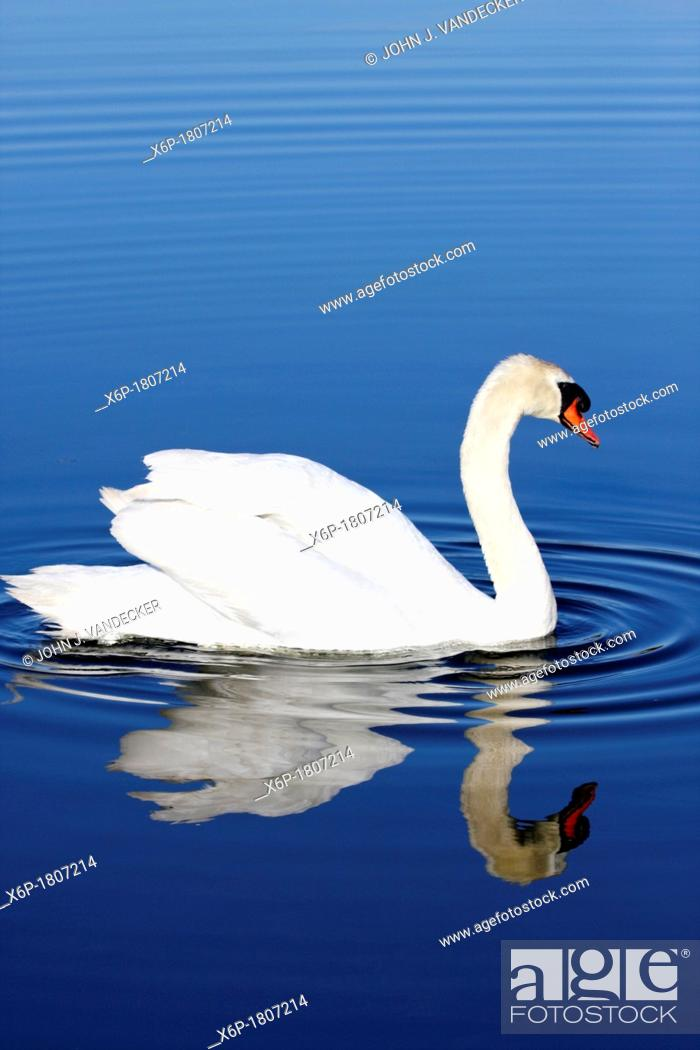 Stock Photo: Mute Swan with reflection in blue water  Richard DeKorte Park, Lyndhurst, NJ, USA.