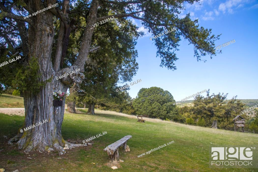 Stock Photo: Juniper forest. Moral de Hornuez, Segovia province, Castilla Leon, Spain.