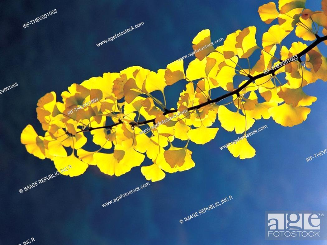 Stock Photo: gingko leaves.