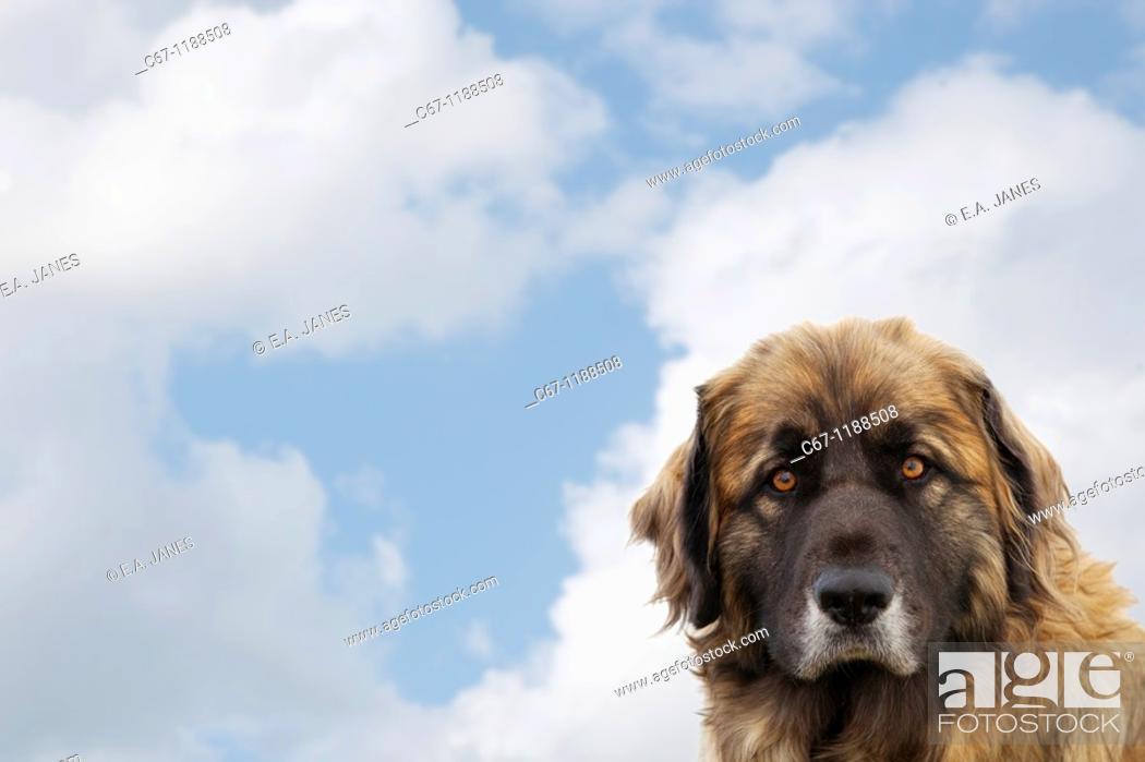 Stock Photo: Leonberger Dog.