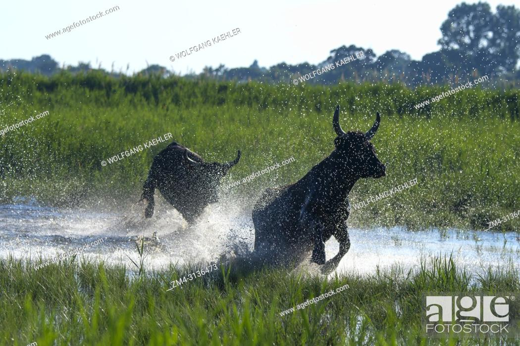Stock Photo: Camargue bulls are running through the marshlands of the Camargue in southern France.