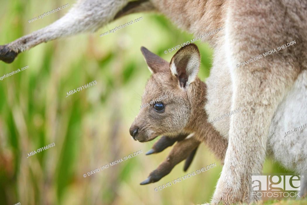 Stock Photo: Eastern Gray Kangaroo (Macropus giganteus), mother animal with cub in the bag, meadow, sideways, standing, Australia, Oceania.