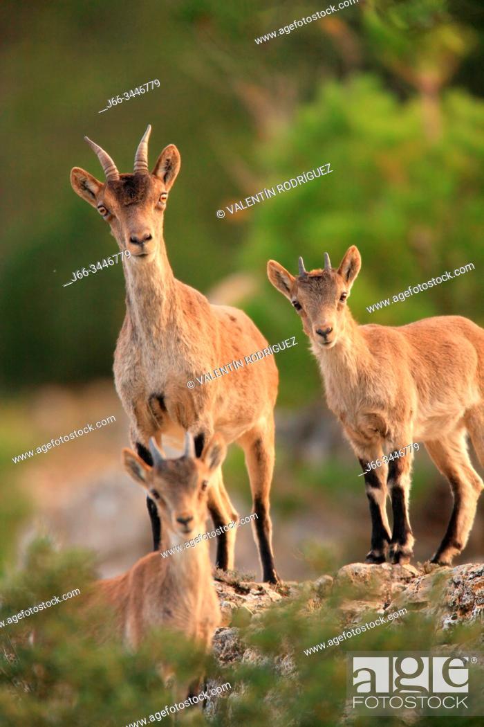 Stock Photo: Mountain goat, female and youngs, (Capra hispanica) in the Sierra Javalambre. Teruel.