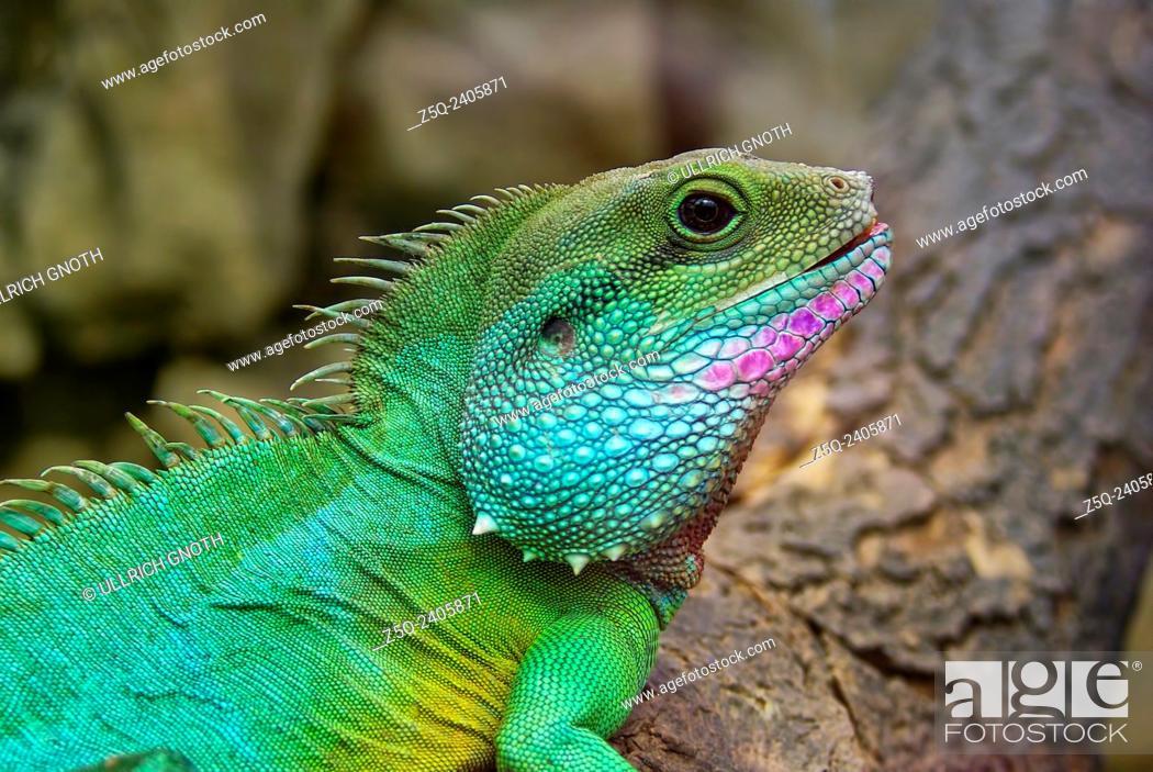 Imagen: Chinese water dragon - Physignathus cocincinus.