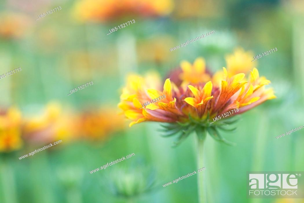 Stock Photo: Flowers in Fort Collins, Colorado, USA.