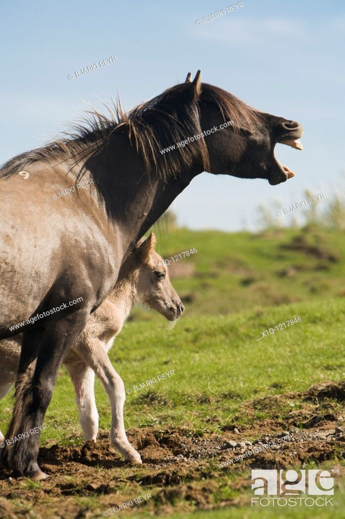 Stock Photo: Four hour old foal with its mother, Iceland.