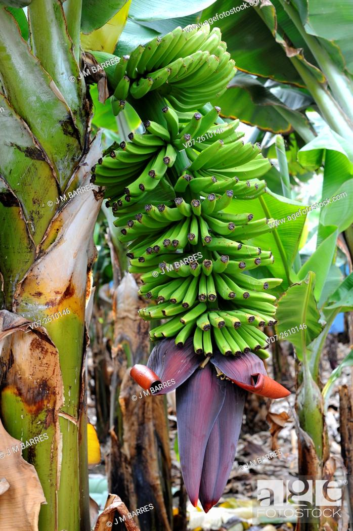 banana musa acuminata peel and gumamela The study suggests that peel extracts of these banana varieties could antioxidant potential of peel extracts of banana varieties (musa musa acuminata colla.