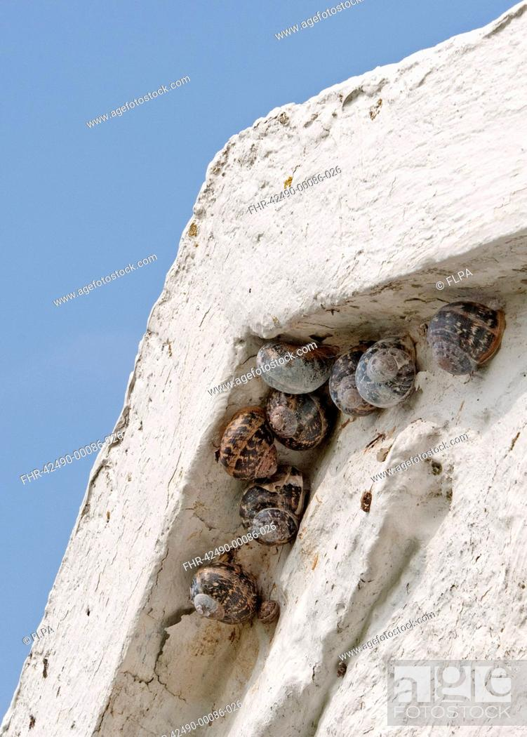 Stock Photo: Garden Snail Helix aspersa adults and immature, sheltering beneath eaves of bothy, North Uist, Outer Hebrides, Scotland, may.