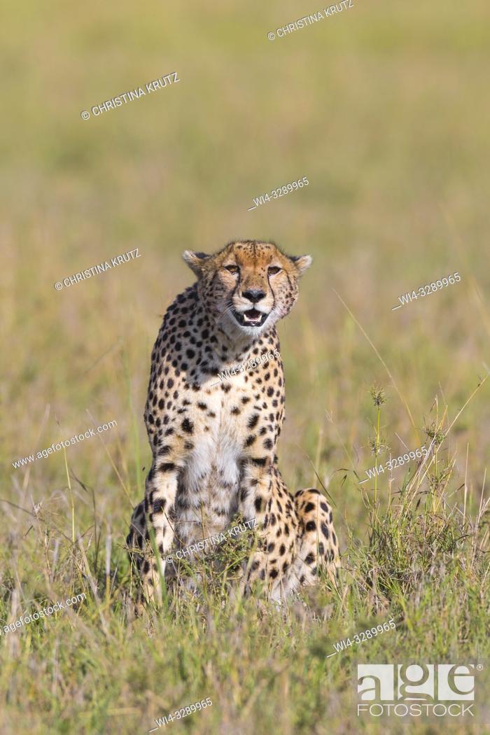 Stock Photo: Cheetah (Acinonyx jubatus), Maasai Mara National Reserve, Kenya, Africa.