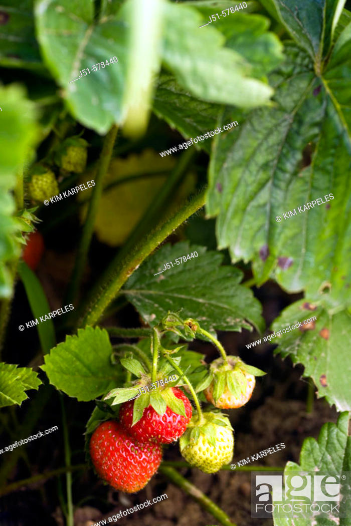 Stock Photo: Richmond, Illinois, strawberries on bushes on organic farm, ripe red berries.