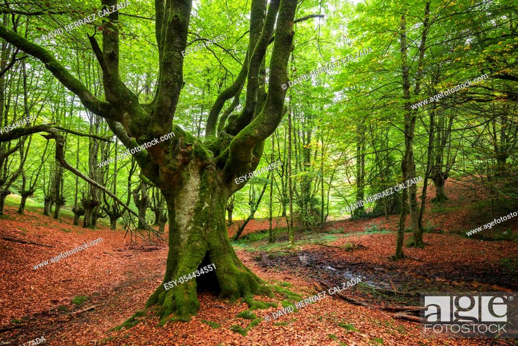 Stock Photo: Idyllic forest landscape with mossy beech trees .