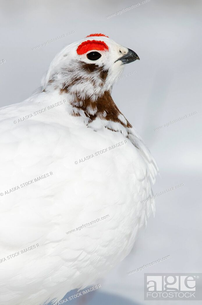 Stock Photo: Close-up of Male Willow Ptarmigan changing from winter to breeding plumage near Savage River, Denali National Park & Preserve, Interior Alaska, Spring.
