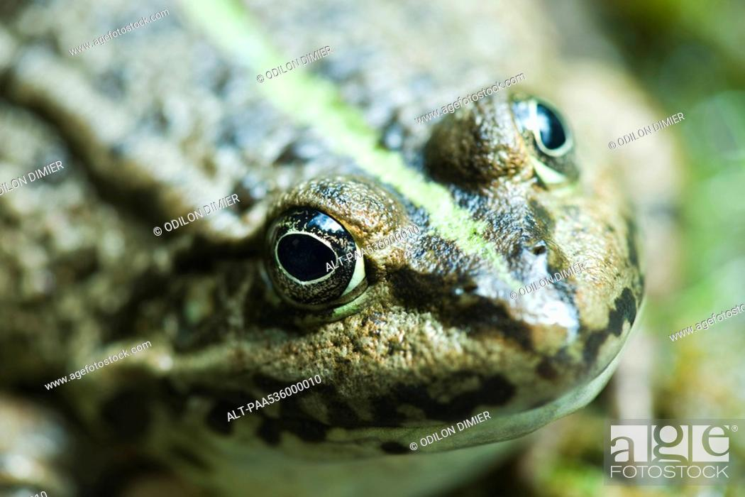 Stock Photo: Natterjack toad, close-up.