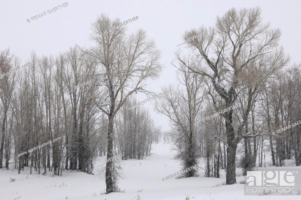 Stock Photo: Stand of Eastern Cottonwood trees in a snow storm on Gross Ventre Road Bridger Teton National Forest.