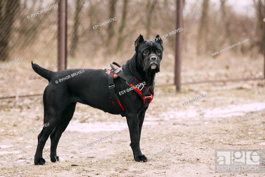 Stock Photo: Black Young Cane Corso Puppy Dog Outdoors. Big dog breeds.