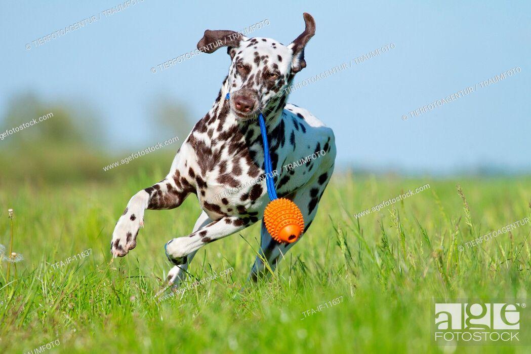 Imagen: playing Dalmatian.